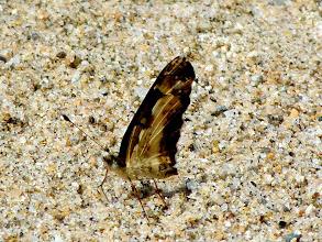 Photo: YELLOW-BANDED (ANGUSTA) CRESCENT--castilia angusta--RIO ALPAYACU