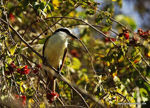 Photo: Great Kiskadee near  Laguna de Quelele