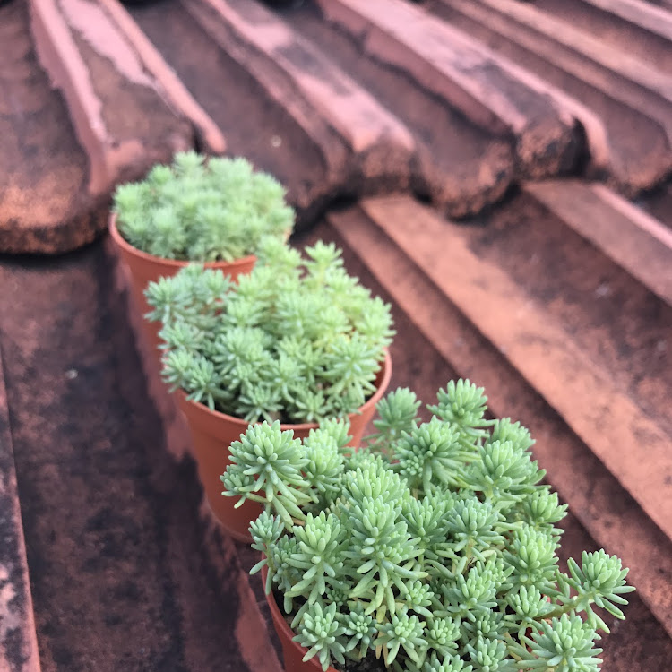 Sedum hispanicum 薄雪万年草 - 1.5inch pots (3x) by AquaticsForevers Enterprise