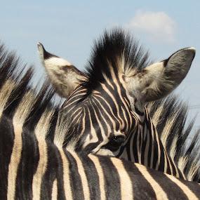 Zebras by Marissa Enslin - Animals Other Mammals (  )