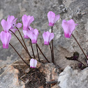 Common cyclamen, autumnal variety