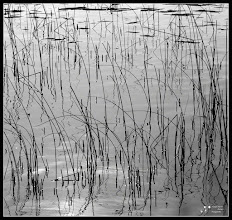Photo: Bulrush The forms that the bulrush were in the water, its reflection, the backlight, formed an abstract image that caught my attention. My contribution to: #minimalmonday curated by +Olivier Du Tré   #MonochromeMonday curated by +Charles Lupica +Bill Wood +Hans Berendsen +Jerry Johnson  #PlusPhotoExtract by +Jarek Klimek