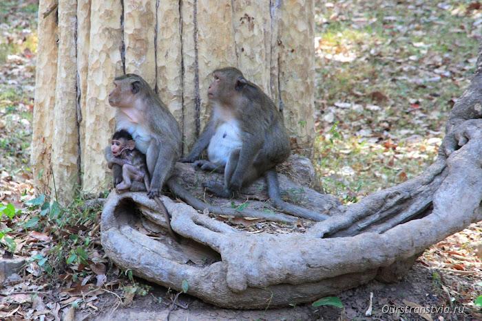 Обезьяны в Камбодже