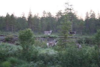 Photo: Северные олени!!! Было уже темно, поэтому все фотки смазанные.