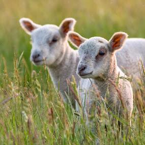 Lambs at Dusk by Pascal Bénard - Animals Other Mammals ( field, pwcbabyanimals, grass, lamb, cute, dusk, mammal,  )