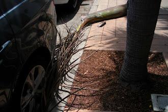 Photo: A palm tree frond, still green and vibrant, suffering premature abscission, Santa Barbara, California, July 15, 2012.