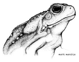 Photo: Bufo marinus | Cane toad
