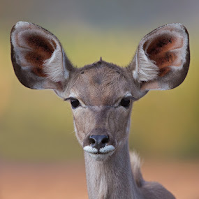 I'm all ears by Francois Retief - Animals Other Mammals
