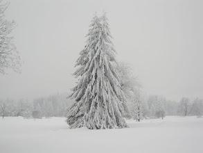 Photo: oder Nadelbaum