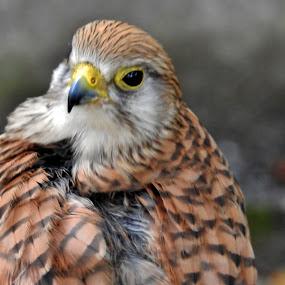 Poštolka by Věra Tudy - Animals Birds