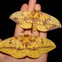 Imperial Moth - 7704