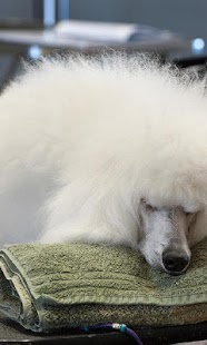 Poodle New HD Wallpapers - náhled