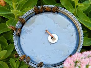 Photo: 8 Heures du matin. Mes premières abeilles commencent à arriver à la soucoupe de ravitaillement ! 16° - La soucoupe est placée sur un piquet au milieu d'un massif de sédums spectabiles. Il s'agit d'une colonie sauvage se trouvant à environ 10 minutes aller-retour de chez moi. Le sirop est composé de trois doses de bon sucre pour une dose d'eau tiède avec une cuillère à café de miel toutes fleurs.