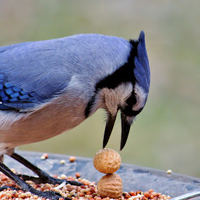 Blue Jay Stacking Peanuts by Nancy Daugherty - Animals Birds