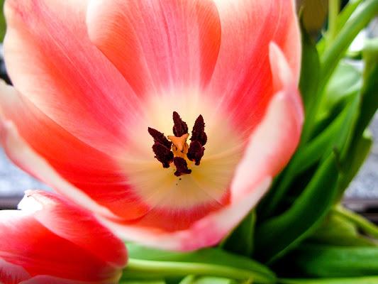 Tulipano di anija