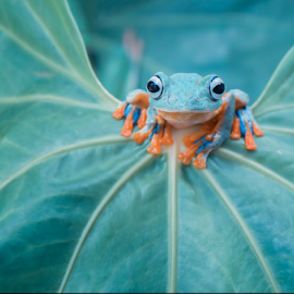 Flying Frog by Riza Arif Pratama - Animals Amphibians ( look, blue, frog, indonesia, am, camera, amphibian, front, leaf, sunlight, flying frog, eyes, animal )