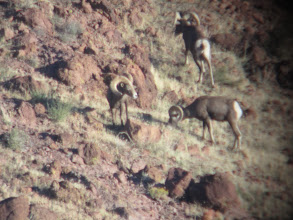 Photo: Live Pics by Colburn and Scott Outfitters-Donnie Young's ram prior to harvest