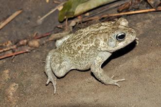 Photo: 'regularis' toad...?