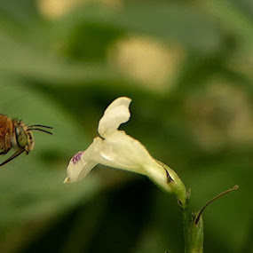 Bee by Sjamsul Rizal - Animals Insects & Spiders