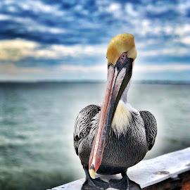 Pelican Watch by Lorna Littrell - Animals Birds ( sea bird, nature, nature up close, shore bird, birds, pelican,  )
