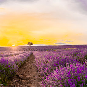 by Venelin Dimitrov - Landscapes Sunsets & Sunrises ( field, nature, sunset, violet, purple, lavender,  )