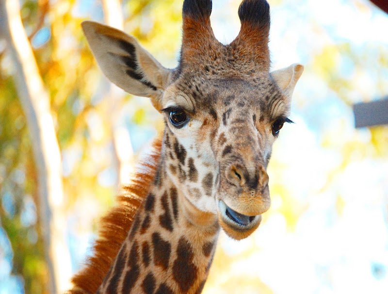 A giraffe at the San Diego Zoo.