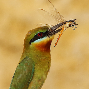 Blue tailed bee eater by Nelson Thekkel - Animals Birds (  )