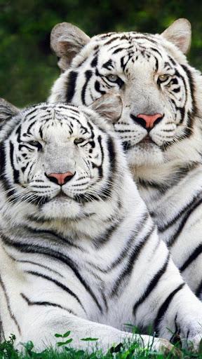虎は壁紙を生きる