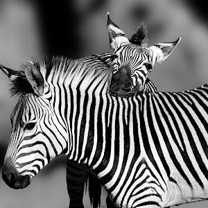 Zebra - Photo Bomb bw.JPG