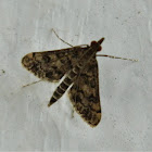 Dolicharthria moth