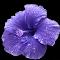 Purple Hibiscus colored.jpg