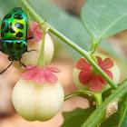 Mangrove Stink Bug, Mangrove shield bug
