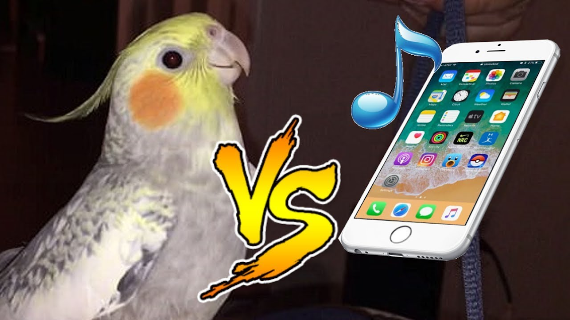 Insanely cute video of a cockatiel that makes a sound you'll recognize...