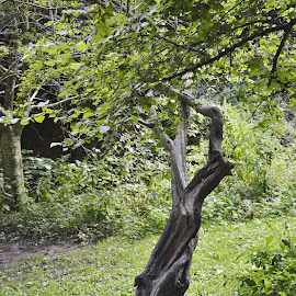 Twisted tree  by Eloise Rawling - Nature Up Close Trees & Bushes ( entwined tree, tree )