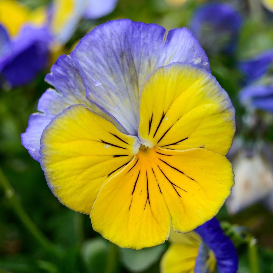 April Pansy by Eric Witt - Flowers Single Flower ( single, ohio, purple, pansy, pansies, cincinnati, yellow, flower, oh,  )