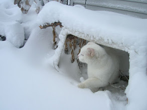 Photo: Happy Caturday!  How do you camouflage a white cat?.... Wait for it to snow!  Well... it worked in year's past. But, not this year in Minnesota. We are just barely white... only a dusting of snow here in the city. ---------------------------------------------------------------------------------------- Something from the past for +CATURDAY! ... for +Jules Hunter, +Lee Daniels & +Christophe Friedli ... hope you all have a great day!