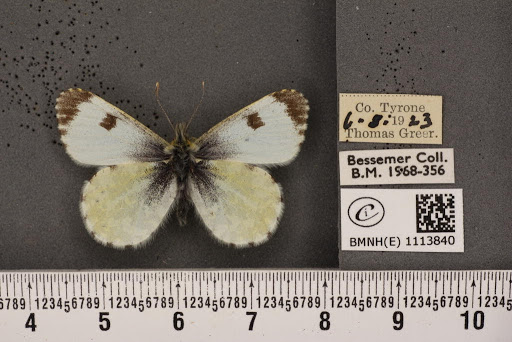 Anthocharis cardamines hibernica Williams, 1916