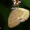 Taydebis butterfly