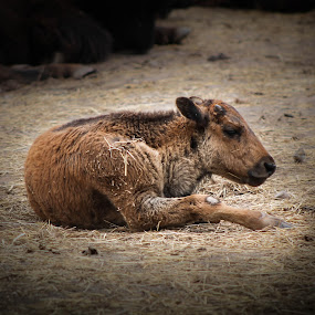 Baby Bison  by Jen Weller - Animals Other Mammals ( canon, bison, mamal, amateur, baby, animal )