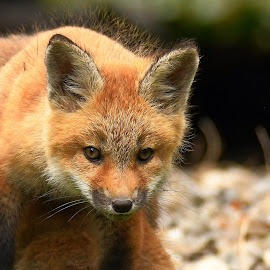 by Steven Liffmann - Animals Other Mammals ( carnivores, vulpes vulpes, red fox, north american mammal )