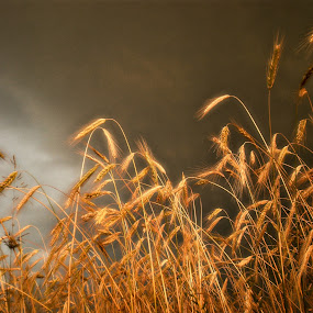 rye       by Adrian Konopnicki - Nature Up Close Leaves & Grasses