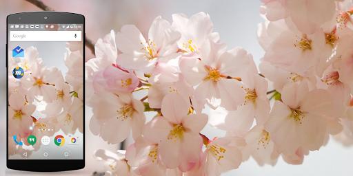 櫻花生活壁紙