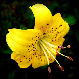 yellow lily by Caroline Beaumont - Flowers Single Flower ( yellow lily )
