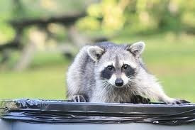 Photo: RVR Photos - Racoons in the Trash
