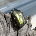 Olive green flower chafer