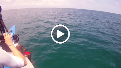 """Video: Video """"snorkeling with the Whale Sharks of Mafia Island"""""""