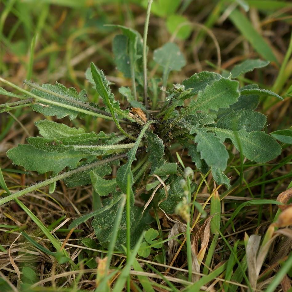 bladrozet