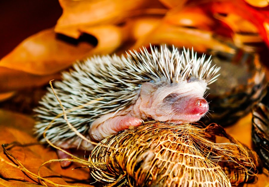 Baby Hedgehog by Petrus En Janine Theron - Animals Other Mammals ( face, hedgehog, baby, nose )