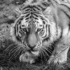 Cute by Garry Chisholm - Black & White Animals ( big cat, garry chisholm, predator, nature, tiger, black and white, wildlife )