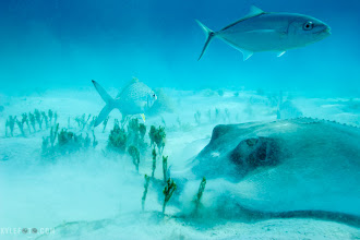 Photo: Stingray feeding Cayman Islands, Caribbean From the blog http://www.kylefoto.com  This is a wild sting ray in it's natural environment, which is distinctly different from the other photos I've been showing you.  Stingrays feed in many areas of the oceanic environment, but sometimes they bury themselves in the sand. Although they can't see well when they do this, they use their sensitive smell and electro receptors just like sharks do to locate mollusks and suck them up. Adequately crushing them with their strong jaws and teeth, protruding their mouth if they need to.  That's what this stingray seemed to be doing, all the activity grabs the attention of nearby fish and scavengers, hoping to get some scraps or find something that's dug up in the sand.  Photographic Details: Canon 20D Shutter Priority 1/200s f/16.0 ISO200 22mm (35mm eq:35.2mm)  #UnderWaterThursday